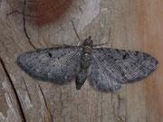 Eupithecia tripunctaria (Dreipunkt-Blütenspanner) / GEOMETRIDAE/Larentiinae (Spanner)
