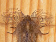 Ptilophora plumigera (Frost-Zahnspinner) Männchen