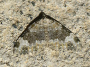 Coenotephria tophaceata