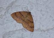 Plagodis pulveraria (Pulverspanner)  / GEOMETRIDAE/Ennominae (Spanner)