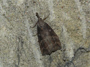 Hypena rostralis / NOCTUIDAE/Hypeninae (Eulenfalter)