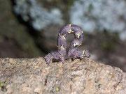 Lycia hirtaria (Schwarzfühler-Dickleibspanner)