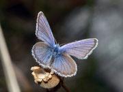 Plebeius idas (Idas-Bläuling, Männchen) / LYCAENIDAE/Polyommatini (Bläulinge)