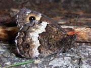 Hipparchia genava (Grosser Waldportier) / NYMPHALIDAE/Satyrinae (Edelfalter)