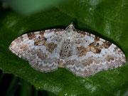 Xanthorhoe montanata (Schwarzbraunbinden-Blattspanner) / GEOMETRIDAE/Larentiinae (Spanner)