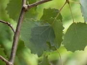 Sciota hostilis / CH BE Hasliberg 1060 m, 22. 06. 2016 (Raupe in zusammen gesponnenen Blättern von Populus tremula)