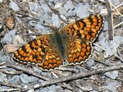 Melitae phoebe (Flockenblumen-Scheckenfalter) / NYMPHALIDAE/Tribus Meliteaini (Edelfalter)