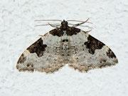 Xanthorhoe fluctuata (Garten-Blattspanner) / GEOMETRIDAE/Larentiinae (Spanner)