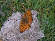 Argynnis niobe (Stiefmütterchen-Perlmuttfalter) / NYMPHALIDAE/Heliconiinae (Edelfalter)