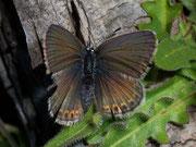 Plebeius idas (Idasbläuling, Weibchen) / LYCAENIDAE/Polyommatini (Bläulinge)