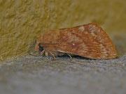 Dendrolimus pini (Kiefernspinner) / LASIOCAMPIDAE (Glucken)