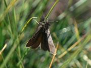 Macaria fusca (Pygmaena fusca)