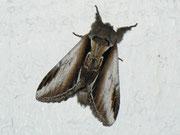 Pheosia gnoma