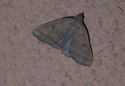 Zanclognatha tarsepannalis (Olivbraune Zünslereule) / NOCTUIDAE (Eulen)