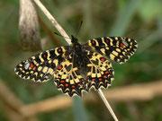 Zerynthia rumina (Spanischer Osterluzeifalter) / PAPILIONIDAE/Parnassiinae (Ritterfalter)