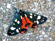 Callimorpha dominula (Schönbär) / ARCTIIDAE/Arctiinae (Bärenspinner)