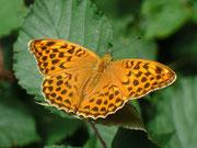 Argynnis paphia (Kaisermantel, Weibchen) / NYMPHALIDAE/Heliconiinae (Edelfalter)
