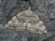 Entephria nobiliaria