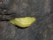 Zygaena transalpina (Hufeisenklee-Widderchen)