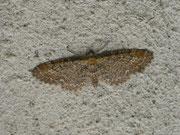 Eupithecia vulgata (Gemeiner Blütenspanner) / GEOMETRIDAE/Larentiinae (Spanner)