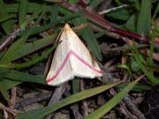 Rhodometra sacraria / GEOMETRIDAE/Sterrhinae (Spanner)