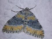 Entephria cyanata
