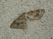 Hydrelia sylvata (Braungestreifter Erlenspanner) / GEOMETRIDAE/Larentiinae (Spanner)