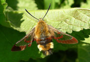 Hemaris fuciformis (Hummelschwärmer) / SPHINGIDAE (Schwärmer)