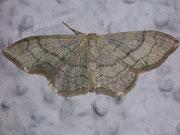 Idaea aversata f. remutata (Doppellinien-Zwergspanner) / GEOMETRIDAE/Sterrhinae (Spanner)