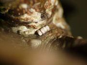 Nothocasis sertata