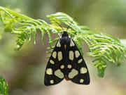 Arctia villica (Schwarzer Bär) / ARCTIIDAE/Arctiinae (Bärenspinner)