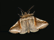 Habrosyne pyrithoides