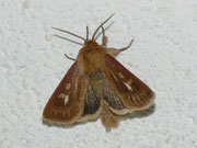 Cerapteryx graminis (Dreizack-Graseule) / NOCTUIDAE (Eulen)