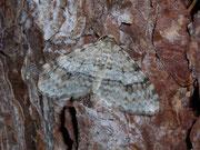 Venusia cambrica (Ebereschen-Bergwaldspanner) / GEOMETRIDAE/Larentiinae (Spanner)