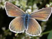 Polyommatus damon (Grünblauer Bläuling,Weibchen) / LYCAENIDAE/Polyommatini (Bläulinge)