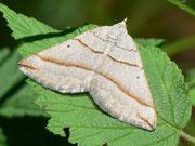 Scotopteryx luridata (Braungrauer Wellenstriemenspanner) / GEOMETRIDAE/Larentiinae (Spanner)