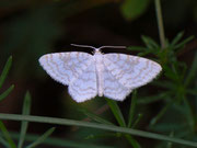 Asthena albulata