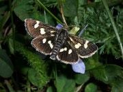 Eurrhypis pollinalis / CRAMBIDAE (Zünsler)