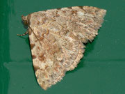 Metachrostis spec./ NOCTUIDAE (Eulen)