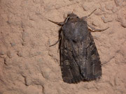 Luperina testacea (Lehmfarbige Graswurzeleule) / NOCTUIDAE (Eulen)
