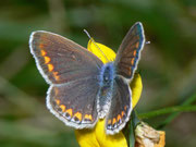 Polyommatus icarus (Hauhechelbläuling, Weibchen) / LYCAENIDAE/Polyommatini (Bläulinge)