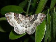Epirrhoe rivata (Weissbinden-Labkrautspanner) / GEOMETRIDAE/Larentiinae (Spanner)