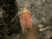 Carcina quercana / OECOPHORIDAE (Faulholzmotten)