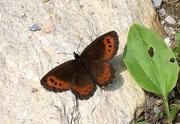 Erebia ligea (Weissbindiger Mohrenfalter, Männchen) / NYMPHALIDAE/Tr. Erebiini (Edelfalter)