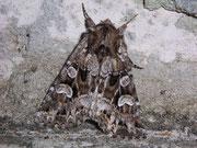 Pachetra sagittigera (Trockenrasen-Blättereule) / NOCTUIDAE (Eulen)