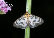 Anania hortulata (Brennnesselzünsler) / CRAMBIDAE/Pyraustinae (Zünsler)