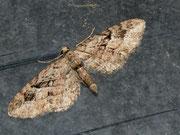 Eupithecia pusillata (Kleiner Wacholder-Blütenspanner) / GEOMETRIDAE/Larentiinae (Spanner)