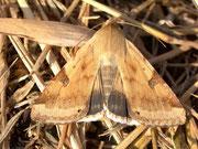 Heliothis peltigera (Bilsenkrauteule) / NOCTUIDAE (Eulen)