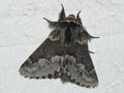 Poecilocampa alpina (Alpiner Wollspinner, Männchen) / LASIOCAMPIDAE (Glucken)