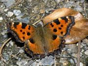 Nymphalis polychloros (Grosser Fuchs) / NYMPHALIDAE/Nymphalinae (Edlefalter)
